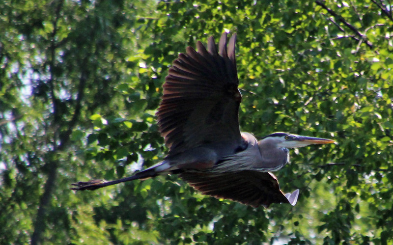 Great blue heron in flight 1