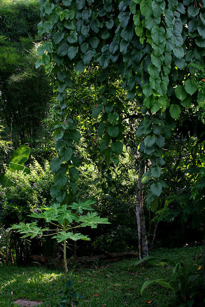 """Another corner of Boosaba's garden. In this image there are: a young papaya tree with ผักตำลึง (Coccinia indica, """"ivy gourd"""") growing up its trunk, and a mango tree nearly smothered by a ผักสาบ (Adinia viridiflora craib, no English name but it is classified as a Passifloraceae, hence a cousin of the passionfruit vine). Under the mango tree are a cassia tree, ต้นขี้เหล็ก (Cassia siamea or Senna siamea, """"Kassod Tree""""), and turmeric. In the background are jackfruit and banana trees. It's worth mentioning that we eat not only the banana fruits, but also the banana flowers and tree trunks, and we use the leaves for wrapping many steamed foods. Down the bank toward the river is our stand of giant bamboo whose shoots are delicious and whose timber fills many needs around our home and farm."""