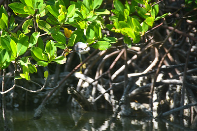 1230PM Mangrove Tunnel Kayak Tour - Jennings, Lawless, Comerford & Schultheis