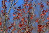 Red Maple (Acer rubrum) samanas (fruit) in Newport News, VA. © 2007 Kenneth R. Sheide