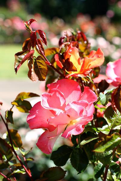 Portland International Rose Test Garden  2249.jpg