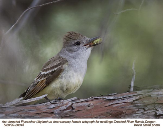 Ash-throated Flycatcher F28046.jpg