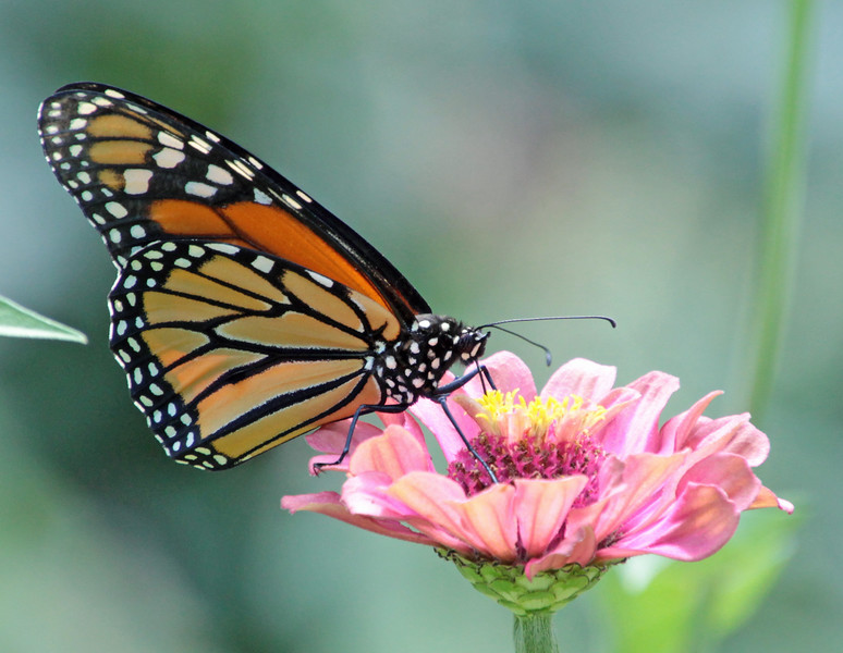 Monarch on pink flower