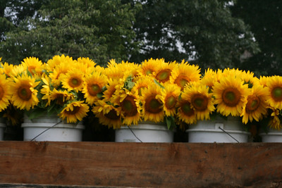 Sunflowers for Wishes 2009, Buttonwood Farm, Griswold, CT