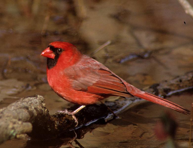cardinalfeb08crop.jpg
