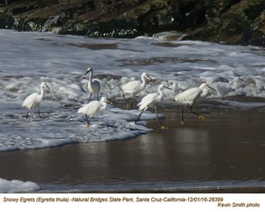 Snowy Egrets 28399.jpg