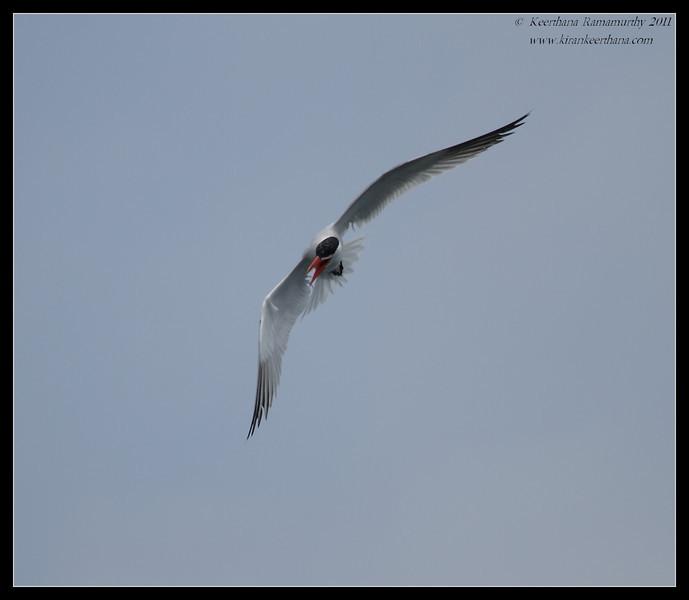 Caspian Tern, Mission Bay, Whale watching trip, San Diego County, California, July 2011
