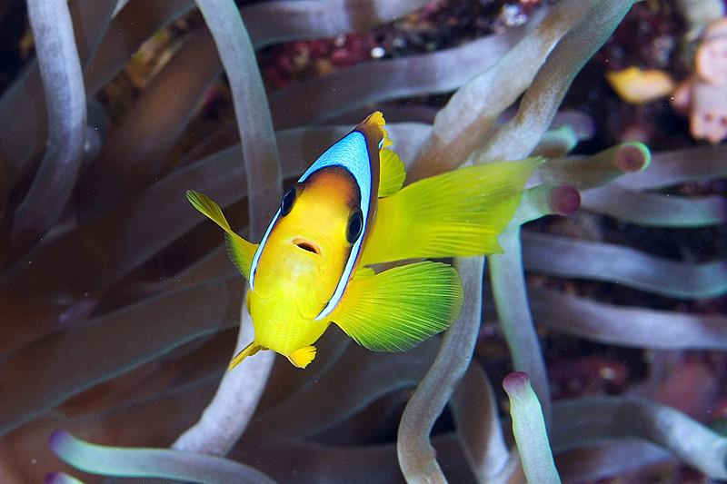 Two Bar Anenome Fish.jpg