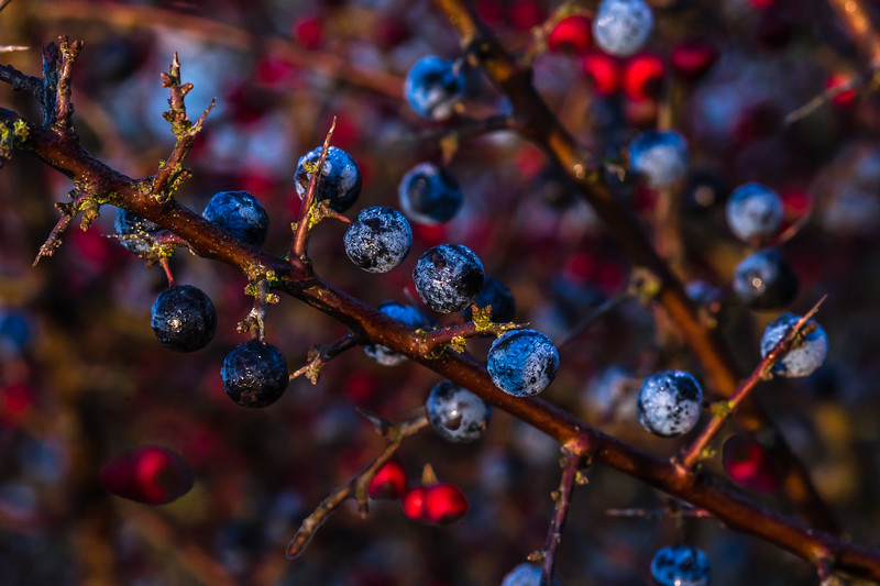 Sloes plus Hawthorns 4184.jpg