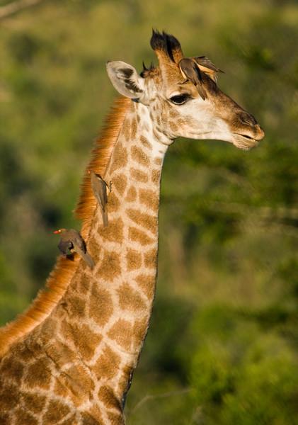 Giraffe with tick birds on neck, South Africa