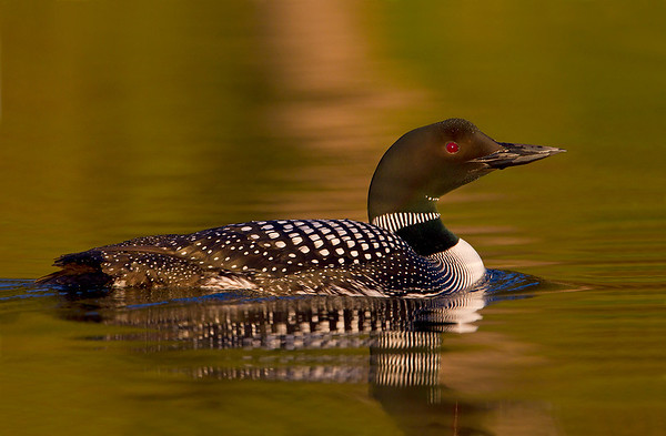 Common Loons 2010