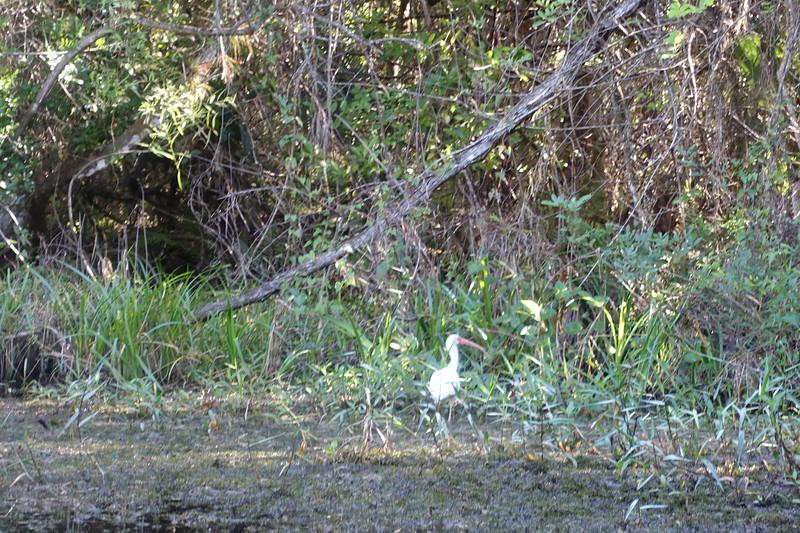 white ibis in the everglades