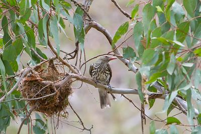 Orioles & Figbirds- ORIOLIDAE
