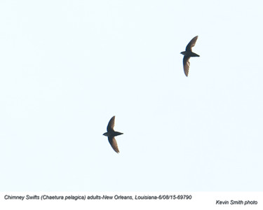 Chimney Swifts A69790.jpg