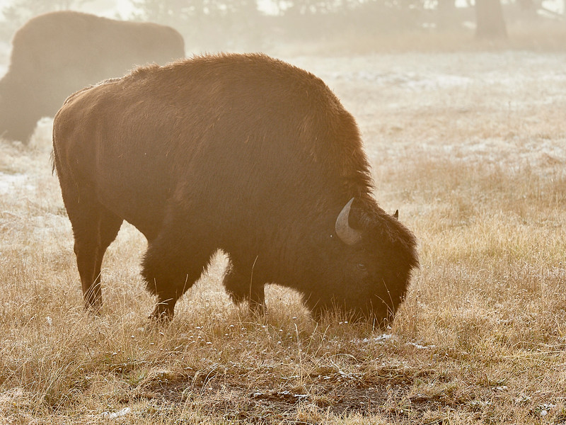 Bison - frosty dawn