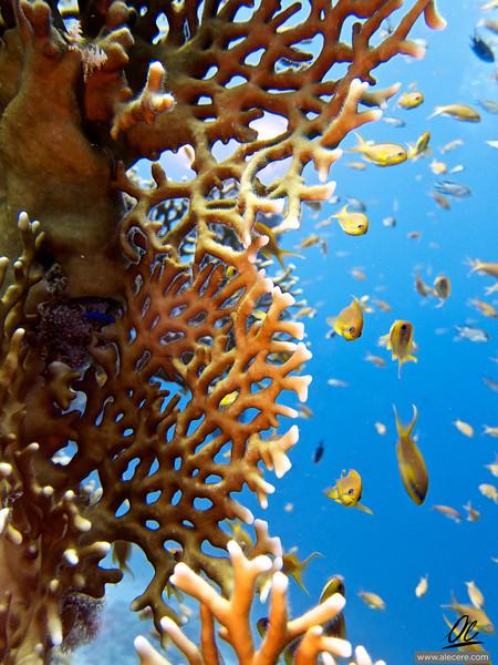 Fractal corals