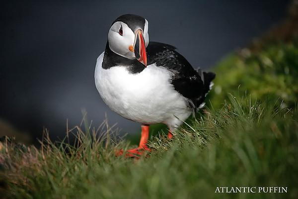 BIRDS OF ICELAND