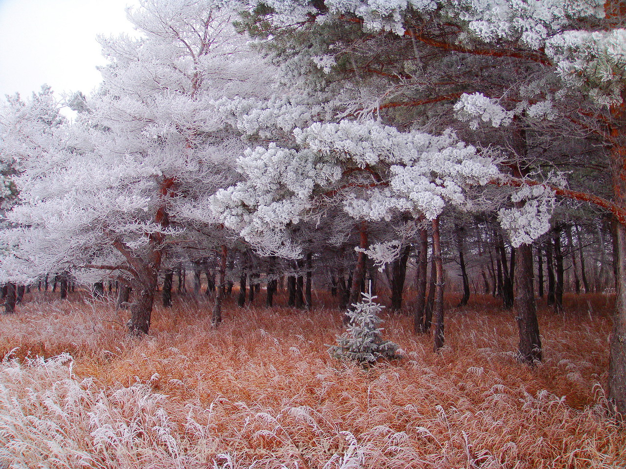 Snowing on the Frosty Pines