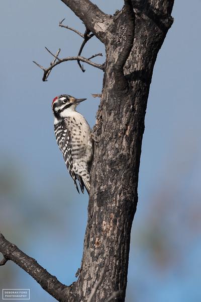 Nuttall's Woodpecker (male)