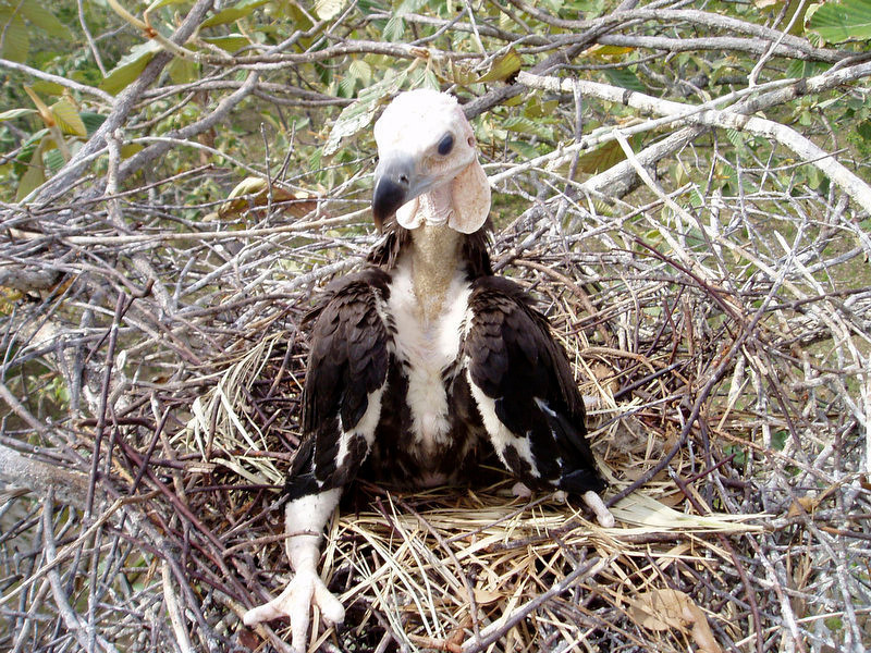 . A baby of white-rumped vulture is seen at Preah Vihear province, about 245 kilometers (152 miles) north of Phnom Penh, Cambodia. Eight critically-endangered were found dead in the jungle of Cambodia after feeding on the corpse of a poisoned buffalo and dog. (AP Photo/Wildlife Conservation Society)