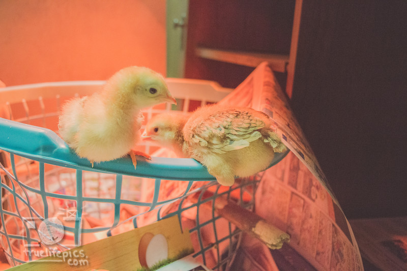 March 27, 2017 Chickens in the shop (10).jpg