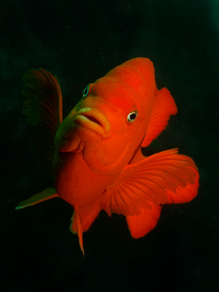 "jim lyle Garibaldi ""Orange on black."" Wreck of the Avalon, Palos Verdes. Olympus E-330, Zuiko 14-54mm lens, dual Ike DS-125 strobes."