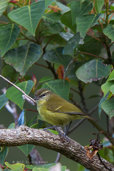 Negros Leaf-Warbler