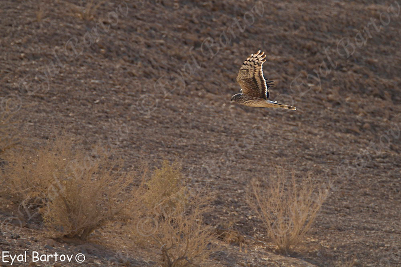 Hen Harrier - נקבה בוגרת זרון תכול -Circus cyaneus
