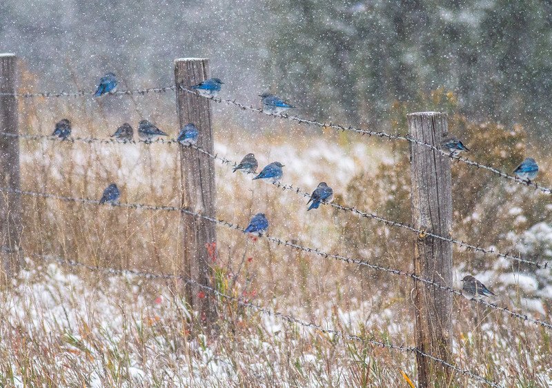 Mountain Bluebird flock on barbed wire fence in snow Theodore Roosevelt National Park Medora ND  IMG_1837.jpg