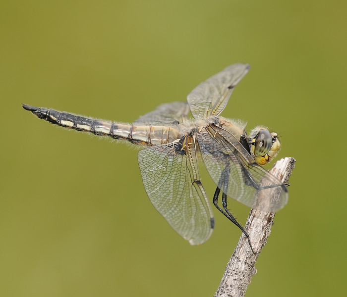 Libellula quadrimaculata (Four-spotted Skimmer), CO - male