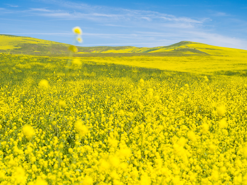 Wildflower Fields, Central California