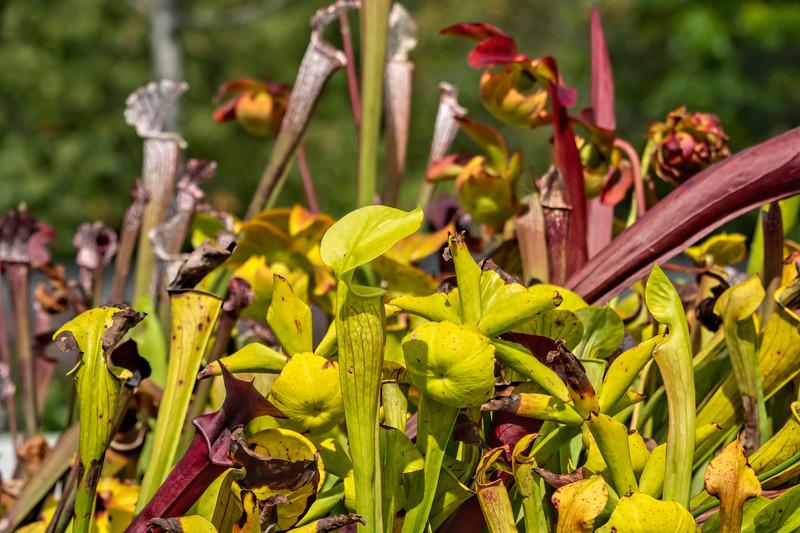North American pitcher plants