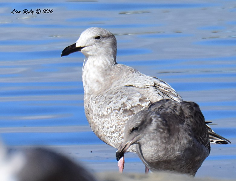 1st winter Herring Gull? - 12/11/2016 - Mission Bay east