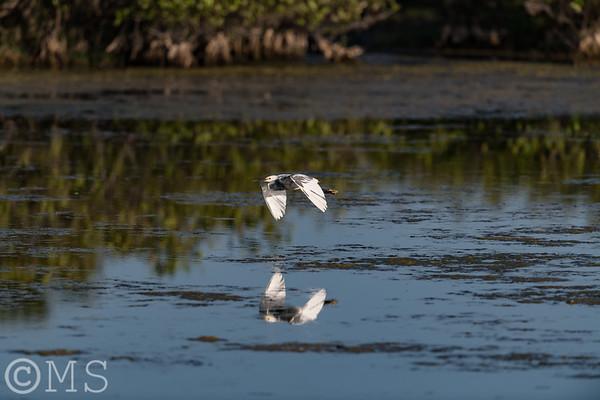 Hybrid Heron - Egret