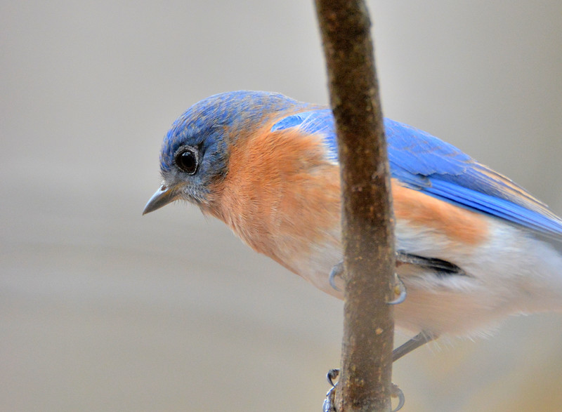 2016xmas bluebird close up .jpg