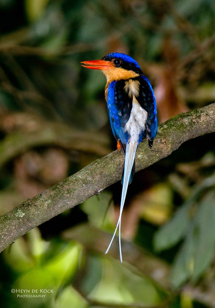 Buff-breasted Paradise Kingfisher; Kingfisher Park, QLD, Aus Dec 2009.jpg