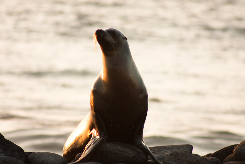 Journey into Baltra Island in the Galapagos Archipelago 43 Sea Lion Returning Home