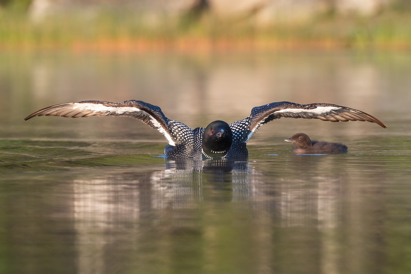 #1701 Common Loon and Chick