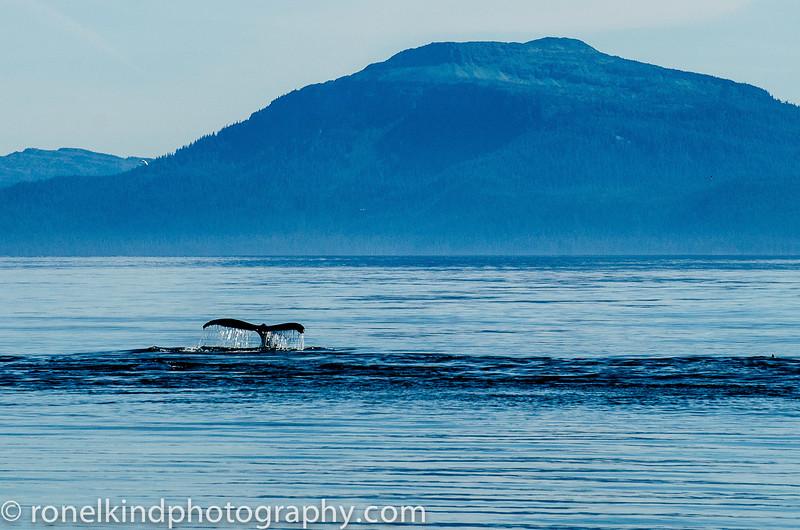 Humpback whale diving deep.