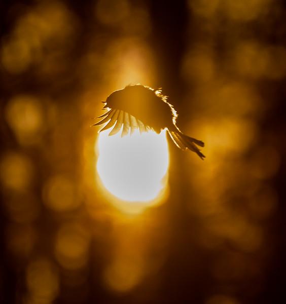 Black-capped Chickadee at feeder backlit backlighting Skogstjarna Carlton County MN  IMGC9442.jpg