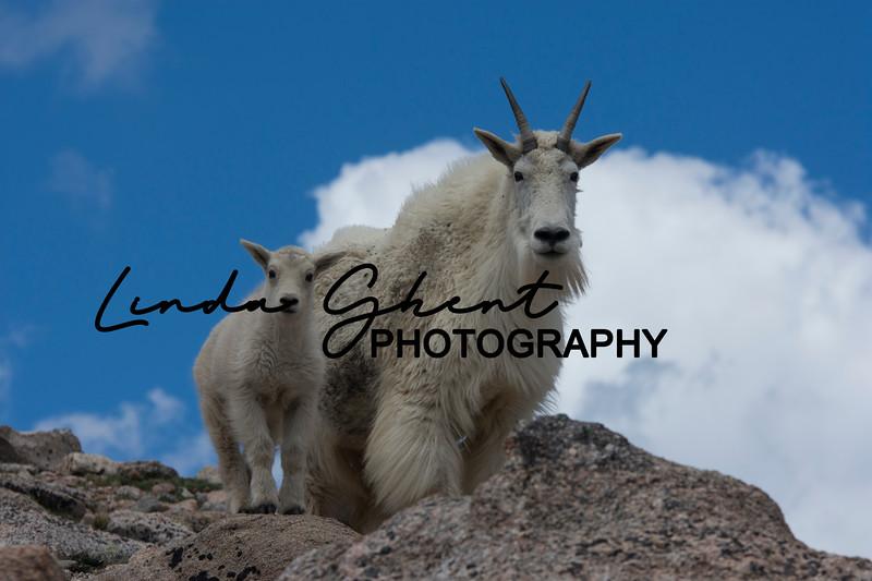 Mount Evans Mountain Goats