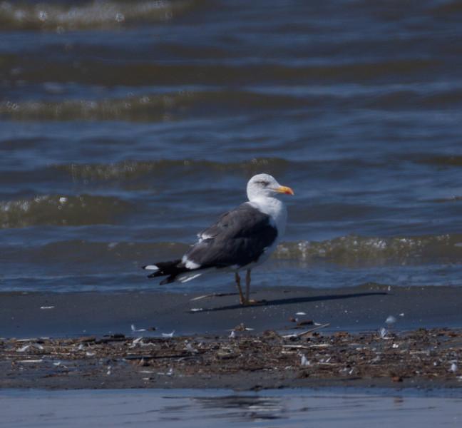 Lesser Black-backed Gull  Salton Sea 2010 10 14-4.CR2