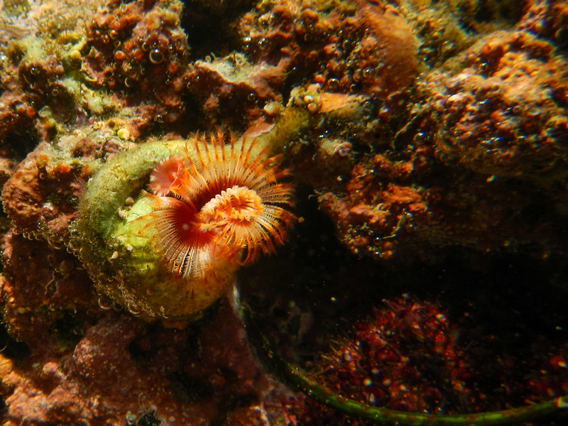 Red Tube Worm (Serpula vermicularis)