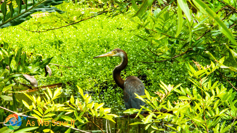 Heron eying the Naples Zoo guests.