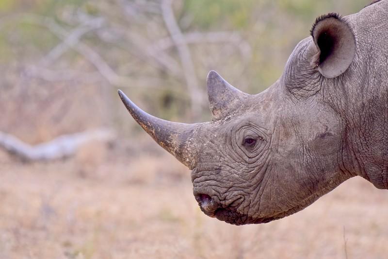 Black Rhino close up 2.jpg
