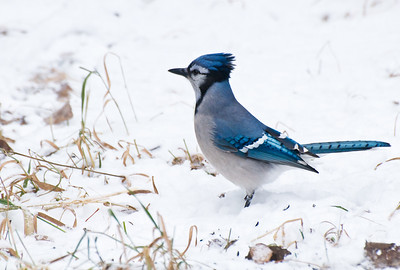 Blue Jay  Taken Dec. 3, 2011 Elk Island Retreat Near Fort Saskatchewan, Alberta