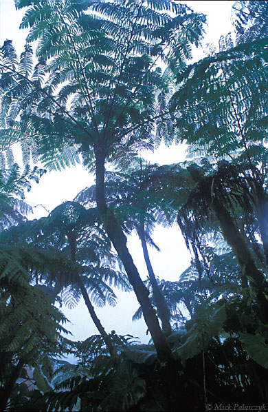 [ANTILLES.SABA 25.527] 'Tree ferns'.	 Tree ferns in the cloud forest on the top of Mt. Scenery give the impression of an ancient Carboniferous wood. Photo Mick Palarczyk.
