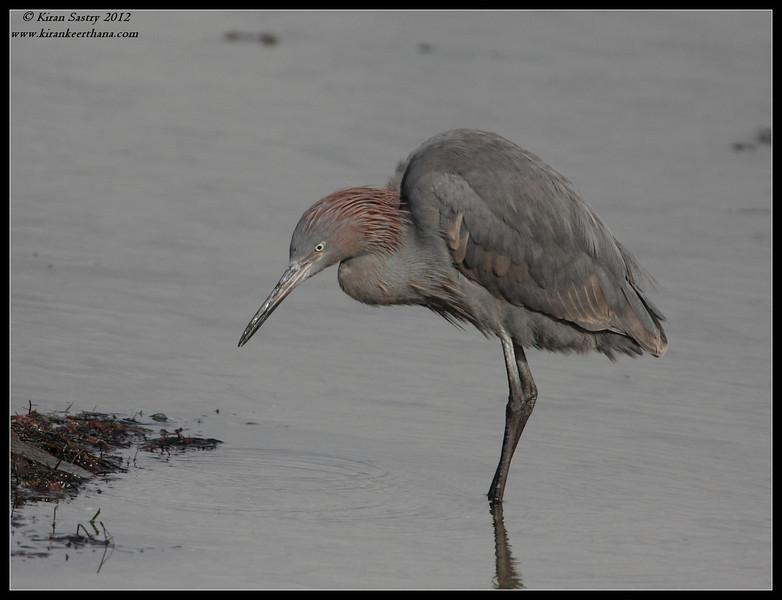 Reddish Egret, Robb Field, San Diego River, San Diego County, California, February 2012