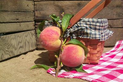 Halehaven Peach - Prunus persica