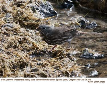 Fox Sparrow A76349.jpg